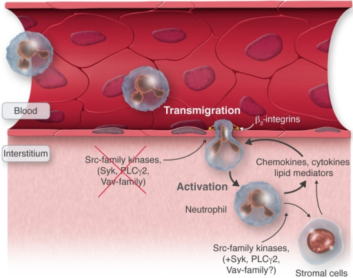 Indirect effect of neutrophil signalling on leucocyte recruitment. At the site of inflammation, neutrophils migrate through the endothelium to the interstitium where they release pro-inflammatory mediators triggering, either directly or through activation of stromal cells, the recruitment of additional neutrophils. β2-integrins are required for the intrinsic capacity of neutrophils to migrate through the vessel wall, whereas Src-family kinases (and likely Syk, PLCγ2 and Vav family members) are critical for the release of pro-inflammatory mediators and hence the generation of the inflammatory environment.