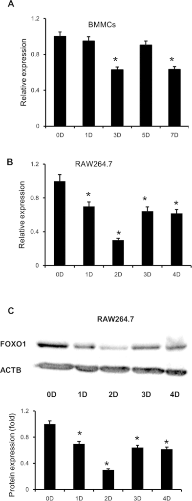 FOXO1 expression in RANKL stimulated BMMCs and RAW264.7 cells.(A,B) BMMCs were treated with M-CSF (30 ng/ml) and RANKL (50 ng/ml), RAW264.7 cells were treated with RANKL (50 ng/ml), the expression of FOXO1 was examined by real-time PCR. Data are mean ± SD of target gene to reference gene (FOXO1/β-actin) ratio. (C,D) Expression of FOXO1 protein in RAW264.7 cells incubated with RANKL (50 ng/ml) was assessed by Immunoblot. ACTB was used as a loading control. Band densities were quantified and normalized to the control. Data was presented as mean ± SD of 3 independent experiments. *P < 0.05 versus 0 day group.