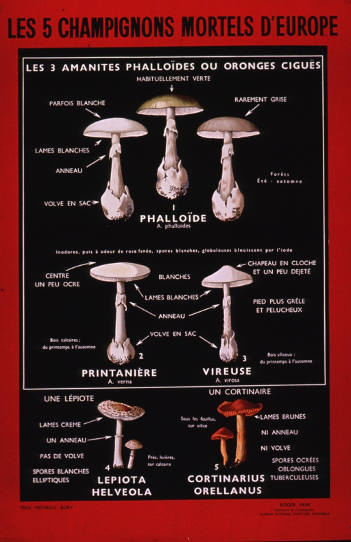 <p>Predominantly red and black poster with black and white lettering.  Title at top of poster.  Note below title deals with three death caps.  Three types of mushrooms, genus Amanita, are illustrated below, with some variants of one type.  Identifying features are labeled.  Two additional types of mushrooms are illustrated near bottom of poster, the Lepiota helveola and the Cortinarius orellanus.</p>