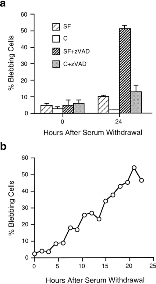 The number of  blebbing cells increase over  time after serum removal in  the presence of z-VAD-FMK.  (a) Blebbing cells were  scored at 0 and 24 h after  serum removal and initiation  of z-VAD-FMK treatment.  The percentage of blebbing  cells was calculated by dividing the number of blebbing  cells by the total number of  living cells per field. At 24 h,  ∼50% of serum-deprived,  z-VAD-FMK–treated cells  were blebbing (SF + z-VAD,  dark striped bars). SF, serum  free; C, control N2 medium  plus DMSO; and C + z-VAD  N2 medium plus 100 μM  z-VAD-FMK. Data represent  the mean ± SEM for three  experiments. (b) The percentage of blebbing cells was calculated every 1.5 h from a time-lapse video recording of a field of cells treated with 100 μM  z-VAD-FMK after removal of serum. The results depicted are  representative of three separate experiments.