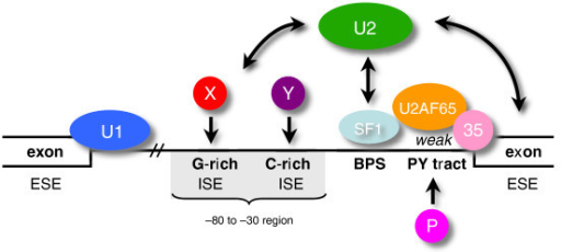 ISEs compensate for a weakened PY tract. The four factors present in the early (E) complex (U1 snRNP, SF1, U2AF65 and U2AF35) recognize the four canonical intronic splicing elements (the 5' splice site, the branchpoint (BPS), the PY tract and the 3' splice site). During A complex formation, which follows E complex, the U2 snRNP is recruited by U2AF65 and replaces SF1 at the branchpoint. There are presumably multiple redundant pathways that compensate for weak U2AF65-PY tract interactions, including bridging interactions between SF1, U2AF65 and U2AF35, alternative PY tract binding proteins (shown here as factor 'P'), and pathways involving additional non-canonical motifs such as ESEs or ISEs. We propose that ISEs in the region upstream of a weak PY tract (nucleotides -30 to -80) are important for recognizing introns with weak PY tracts. Specifically, we have shown that G-rich and C-rich motifs are ISEs that compensate for weakened U2AF65-PY tract interactions. Factors X and Y represent proteins binding the compensating ISEs. We propose that ISE-factor X/Y interactions can compensate for weak PY tract-U2AF65 interactions and help recruit the U2 snRNP to the branchpoint. The dash (//) indicates the variable length between the 5' splice site and 3' end of the intron.