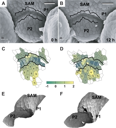 Flower primordium in a medium bulge stage (P2). Scanning electron micrographs (A, B), curvature plots (C, D), and side views of the reconstructed surface (E, F) show the portion of periphery of the clv3-2 inflorescence shoot apex No. 4, different from the portions shown in Figs 6 and 7. P1 is in the initial bulging stage. Arrow in (F) points to the axil cells, which outer walls are folded. Bars=20 μm. (This figure is available in colour at JXB online.)
