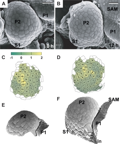 Flower primordium in a sepal formation stage. Scanning electron micrographs (A, B), curvature plots (C, D), and side views of the reconstructed surface (E, F) show the portion of periphery of the clv3-2 inflorescence shoot apex No. 3, different from the portion shown in Fig. 5. Sepal primordium (S1) and a putative internode surface (In) are labelled. Bars=20 μm. (This figure is available in colour at JXB online.)