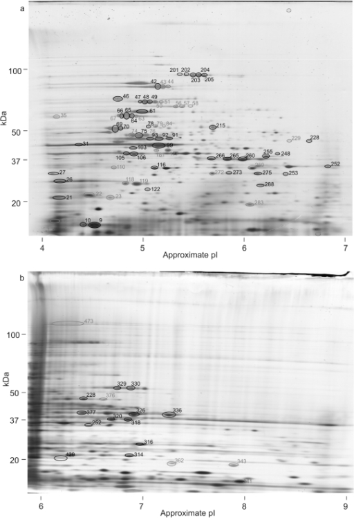 2D gels of total N. meningitidis proteins.Total N. meningitidis proteins separated by 2D gel electrophoresis using (a) a non-linear pI 4–7 1st dimension and (b) a non-linear pI 6–9 1st dimension. Gels were silver stained and replica gels western blotted with patient sera. Spots that were recognised by one or more sera on western blots are circled. Spots whose identity was determined are numbered in black, those that remain unidentified in grey.