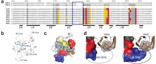 Structural basis for HA4's specificity toward Abl and Abl2(a) Amino-acid sequence alignment of Abl, Abl2 and Src family SH2 domains. Residues within 5Å of the HA4 interface are colored as follows: gray, residues where the consensus amino acid among the Src family members is identical to that of Abl; yellow, conservative substitutions; and red, non-conservative substitutions. Residues in the SH2 CD loop are in the blue box. Residues in the peptide-binding interface, inferred from the Lck structure39 are indicated with asterisks. (b) Cartoon model of the Lck SH2 domain structure with a bound peptide (1LCJ).39 The phosphopetide (sticks) lies across the central strand (βD). The pY-binding pocket and the Y+3 pocket are on either side of βD. (c) Conservation of HA4-interacting residues shown on the surface of the Lck SH2 domain. A phosphopeptide (sticks) highlights the overlap between phosphopeptide-binding and HA4-binding interfaces. (d) HA4/Abl complex (left) and hypothetical HA4/Lck complex (right, modeled by aligning Lck SH2 with Abl SH2 in the HA4/Abl SH2 complex), emphasizing SH2 CD-loop residues (blue). The two SH2 domains are viewed from an equivalent direction. HA4 is shown as a cartoon model, with the DE loop shown as orange sticks and gray mesh. The CD loop of the Lck SH2 domain that creates a protruding knob and is predicted to clash with the DE loop of HA4 is enclosed in the solid circle. The equivalent region in the Abl SH2 domain is marked with the dotted circle.