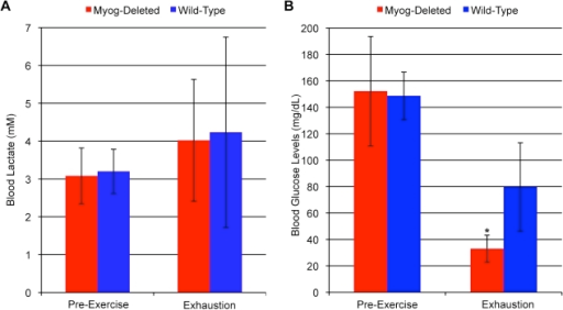 Blood metabolite values in wild-type and Myog-deleted mice after low-intensity exercise.(A) Blood lactate levels. Blood lactate levels in Myog-deleted mice were similar to those for wild-type mice before and after low-intensity exercise (Myog-deleted, 4.2 mM; wild-type, 4.5 mM). Blue bars indicate wild-type control values; red bars indicate Myog-deleted values. Error bars represent one standard deviation. (B) Blood glucose levels. Myog-deleted mice have further reduced blood glucose levels after low-intensity running. Blood glucose levels in Myog-deleted mice are similar to those for wild-type mice prior to low-intensity exercise (149 mg/dL). After low-intensity exercise exhaustion, blood glucose levels were reduced 78% in Myog-deleted mice compared with 46% for wild-type controls (Myog-deleted, 33 mg/dL; wild-type, 80 mg/dL). Blue bars indicate wild-type control values; red bars indicate Myog-deleted values. Error bars represent one standard deviation. (Myog-deleted, n = 6; wild-type, n = 6) *P<0.05.