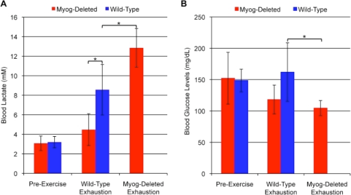 Blood metabolite values in wild-type and Myog-deleted mice after high-intensity exercise.(A) Blood lactate levels. Prior to exercise, Myog-deleted mice exhibited normal levels of blood lactate (Myog-deleted, 3.1 mM; wild-type, 3.2 mM). Exhausted wild-type mice exhibited elevated blood lactate levels (8.6 mM), 2.7-fold higher than pre-exercise levels. At wild-type exhaustion, Myog-deleted mice had blood lactate levels similar to pre-exercise levels. Exhausted Myog-deleted mice exhibited a 4.1-fold increase in blood lactate relative to pre-exercise levels and 1.5-fold higher than exhausted wild-type mice (12.9 mM) (Myog-deleted, n = 6; wild-type, n = 6). Blue bars indicate wild-type control values; red bars indicate Myog-deleted values. Error bars represent one standard deviation (P<0.05). (B) Blood glucose values. Prior to exercise, Myog-deleted mice had normal blood glucose levels compared with wild-type control mice (52 mg/dL). When wild-type mice reached exhaustion, their blood glucose levels were similar to their pre-exercise values (162 mg/dL). At exhaustion, Myog-deleted mice had a 33% reduction in blood glucose relative to levels in wild-type mice at exhaustion (Myog-deleted, n = 6; wild-type, n = 6). Blue bars indicate wild-type control values; red bars indicate Myog-deleted values. Error bars represent one standard deviation. *P<0.05.