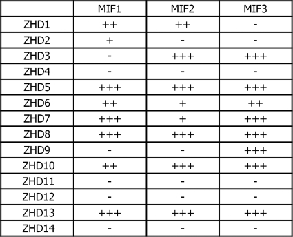 Yeast two-hybrid assays on the MIF-ZHD interactions. The MIF-ZHD interactions were examined by yeast two-hybrid assays. Relative strengths of the interactions are indicated. +++, very strong; ++, moderate; +, weak; −, no interaction.