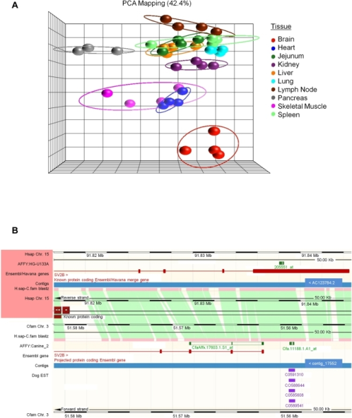 Resolution of transcript assignment for canine probesets mapping to                            the SV2B gene locus.A. Principle component analysis of all 11,339 canine                            probesets with no gene identifier associated. B. Ensembl                            BLASTZ pairwise genomic alignment of human chromosome 15 (top panel) and                            canine chromosome 3 (bottom panel) centered on the 3′ region of                            the SV2B gene locus. Affymetrix human U133A probeset,                            205551_at (SV2B), and canine_2 probesets, CfaAffx.17603.1.S1_at (SV2B)                            and Cfa.11188.1.A1_at (unidentified) are aligned to their corresponding                            genomic regions. Canine EST evidence is shown in purple.
