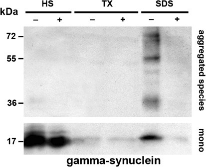 Dimebon decreases amount of detergent-insoluble γ-synuclein species in the spinal cord of γ-synuclein transgenic mice. Representative western blot of fractions obtained by sequential extraction of proteins from the spinal cord of 12-month-old control Thy1mγSN mice (−) and Thy1mγSN mice treated with dimebon from the age of 3 months (+) probed with an antibody against mouse γ-synuclein is shown. Proteins were extracted from pooled thoracic spinal cords of five animals for each group. To detect low-abundant high molecular weight γ-synuclein species (upper panel), the membrane was exposed for longer period than for detection of predominant monomeric form of the protein (lower panel). HS high salt-soluble fraction, TX Triton-X soluble fraction, and SDS detergent-insoluble fraction