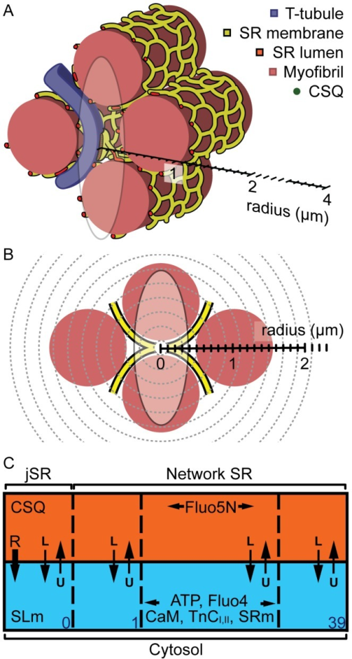 Computer model geometry.(A) shows a region of a cardiac myocyte and presents the size of a typical junction relative to a confocal PSF and the computer model. A transverse tubule (purple) extends in between myofilaments (pink) that are wrapped by network of SR tubules (yellow surface, red lumen). A flattened disc of SR wraps around the T-tubule to form a Ca release junction. The size of a typical confocal PSF is shown by an ellipse in x-z orientation, at 2·FWHM. (B) shows the transverse, stylised view of (A), where the SR can be seen as an 'X' shape that curves around the myofibrils. The jSR is shown as a white circle and assumed to be in the centre of the PSF (opaque ellipse). The spherical mesh of the computer model is also shown (grey dashed lines), with the radius at 4 µm, which should be sufficiently large to capture a Ca spark without boundary effects. (C) shows a simplified diagram of the computer model elements (0≤i≤39) and the two compartments: the cytosol (blue) and SR (orange). The locations of mobile and immobile Ca buffers are shown. See text and Table 1 for details.