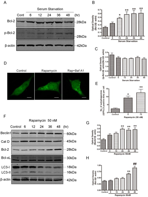 Bcl-2 was up-regulated in SH-SY5Y cells during serum starvation.A: Western blot analysis of Bcl-2 and p-Bcl-2 expression in SH-SY5Y cells subjected to starvation. B and C: Quantitative analysis of optical densities of the Bcl-2 and p-Bcl-2 protein bands with Sigma Scan Pro 5 and normalized to the loading control. Bars represent Mean ± SD (B, n = 7; C, n = 3). D: Representative confocal images (5 µm scale bar) of GFP-LC3 assay in SH-SY5Y cells transfected with GFP-LC3 plasmid. Twenty four hours after transfection, the cells were treated with rapamycin (50 nM) for 12 hrs in the present or absence of 100 nM Baf A1. E: Quantification of autophagy in rapamycin-treated SH-SY5Y cells transfected with GFP-LC3. Data represent mean ± SD from three independent experiments. F: Western blot analysis of Beclin1, Cathepsin D, Bcl-2, Bcl-xl and LC3 in SH-SY5Y cells treated with Rapamycin. G and H: Rapamycin induced upregulation of Beclin1 and Bcl-2 in SH-SY5Y cells. Quantitative analysis of optical densities of the Beclin1 and Bcl-2 protein bands with Sigma Scan Pro 5 and normalized to the loading control. Bars represent Mean ± SD (G, n = 3; H, n = 4). Statistical analysis was carried out with ANOVA followed by Dunnett t-test. *p<0.05 vs control group; **p<0.01 vs control group; ##p<0.001 vs control group.