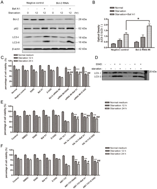 Autophagic flux induced by serum deprivation was enhanced when Bcl-2 was down-regulated and inhibitors of autophagy and apoptosis rescue cell from death.A: Western blot analysis of LC3-II and p62 expression in SH-SY5Y cells. Seventy-two hours after transfection with indicated oligonucleotides, the cells were subjected to starvation for 12 hrs in the present or absence of 50 nM Baf A1. B: Quantitative analysis of optical densities of the LC3-II/LC3-I protein bands with Sigma Scan Pro 5. Bars represent Mean ± SD (n = 3). Statistical analysis was carried out with unpaired t-test (*p<0.05, Bcl-2 siRNA #6 group vs negative control group). C: Quantitative analysis of cell viability with MTT assay. SH-SY5Y cells were treated with Bcl-2 siRNA #6 for 72 hrs, and then were treated with 10 µg/ml E64D, 50 nM Baf A1 and 50 µM Z-VAD. Cells were either maintained in normal medium or subjected to 12 hrs or 24 hrs of starvation prior to cell viability assay. **p<0.01, ***P<0.001 represent the indicated groups vs Bcl-2 RNAi #6 starvation 12 hrs group; ##p<0.01 represent the indicated groups vs Bcl-2 RNAi #6 starvation 24 hrs group. D: Representative western blot image of LC3 in SH-SY5Y cells subjected to normal or serum-free medium in the presence or absence of 10 µg/ml E64D for 12 hrs. E and F: Quantitative analysis of cell viability with MTT assay. SH-SY5Y cells were pre-treated with HA 14-1 or ABT-737, then the cells were either maintained in normal or starvation medium for 12 hrs or 24 hrs with E64D, Baf A1 or Z-VAD. **p<0.01 represent the indicated groups vs HA 14-1/ABT-737 starvation 12 hrs groups; #p<0.05, ##p<0.01 represent the indicated groups vs HA 14-1/ABT-737 starvation 24 hrs groups. Statistical analysis was either carried out with Student t-test, or carried out with ANOVA followed by Dunnett t-test. Data represent mean ± SD for combined data from three independent experiments, each experiment has six replicate wells.