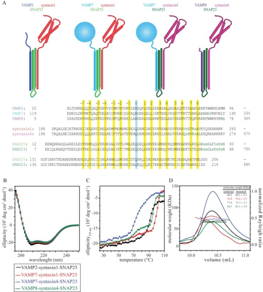 A, ternary SNARE complexes used in this study. Upper, schematic representation of the four ternary SNARE complexes used in this study. Lower, sequence alignment of the corresponding SNARE core domains. The heptad repeats and ionic layer are highlighted in yellow and cyan, respectively. The endogenous and mutant cysteines used for maleimide-Oregon Green 488 labeling are indicated (lowercase green c). The percentage of sequence identity between single SNARE domains is indicated on the right. B, CD of the four ternary SNARE complexes showed wavelength scans typical of α-helical structures, with characteristic minima at 208 and 220 nm and positive values below 200 nm. C, thermal melts of the four ternary SNARE complexes, monitored as loss of ellipticity at 220 nm versus temperature (25–110 °C), indicated high thermal stability. D, SEC-MALS experiments showed that the four ternary SNARE complexes are monomeric. The inset reports the predicted and measured molecular masses (in kDa) of the four ternary complexes. In the chromatogram, the lines report the molecular mass, and the curves report the light scattering (i.e. normalized Rayleigh ratio) as a function of elution volume on a WTC-100S5 column (Wyatt Technology). deg, degrees.