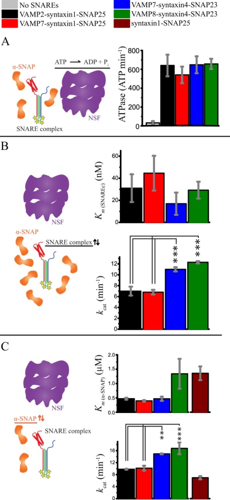 Comparison of ATPase stimulation and disassembly kinetics for ternary and binary SNARE complexes. All bar diagrams show means ± S.D. from three replicates. Statistical comparisons were by one-way analysis of variance with a Bonferroni post hoc test. **, p < 0.01; ***, p < 0.001. A, stimulation of ATPase activity by ternary SNARE complexes in the presence of α-SNAP. All four ternary SNARE complexes similarly stimulated the ATPase activity of NSF. B, steady-state kinetics of NSF-driven disassembly of the four ternary SNARE complexes. The means ± S.D. of kcat and Km values were obtained from fitting the Michaelis-Menten equation (y = kcat·x/(Km + x)) to the observed initial disassembly rates as a function of SNARE complex concentration for three independent experiments (see also supplemental Fig. S1A). Km values are statistically similar for the four ternary complexes, although there was a small difference between the kcat obtained for the complexes containing syntaxin1-SNAP25 and those containing syntaxin4-SNAP23. C, steady-state kinetics of NSF-driven disassembly for the four ternary SNARE complexes and the neuronal t-SNARE (syntaxin1-SNAP25) complex as a function of α-SNAP concentration. The means ± S.D. of Km and kcat values were obtained by fitting the Michaelis-Menten equation to the observed initial disassembly rates as a function of α-SNAP concentration for three independent experiments (see also supplemental Fig. S1B). Similar to B, a small difference was observed between the kcat of the complexes containing syntaxin1-SNAP25 and the kcat of those containing syntaxin4-SNAP23. The slight variation of kcat values in B and C is likely due to batch-to-batch variability of different NSF preparations and temperature variations across different instruments and experiments.
