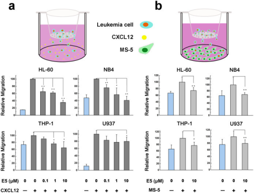 Inhibitory effect of E5 on the migration of multiple leukemia cell lines in the transwell assay.Leukemia cells were seeded in the upper well. CXCL12 was supplemented in the lower chamber (a) or secreted by MS-5 cells seeded in the lower chamber (b). Data are presented as mean ± SD (n = 3). The * represents significant difference from sample groups to the control group (*: p < 0.05, **: p < 0.01).