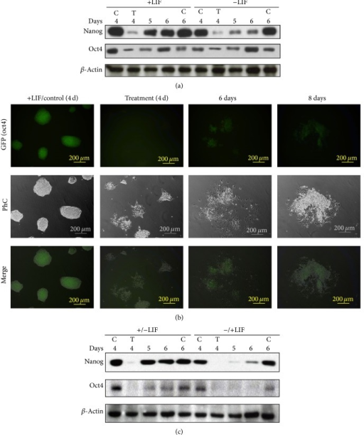 Reexpression of pluripotency genes following exposure to DETA/NO. (a) Western blot analysis of Nanog and Oct4 proteins. D3 mESCs were grown in the presence (+LIF) or in the absence (−LIF) of LIF for 3 days. Cells were then cultured as indicated in Section 2 for additional periods of 1 and 2 days (day 4 and day 5). C: control cells. T: cells exposed to 1 mM DETA/NO for 19 h on day 4. Lanes 5 and 6 refer to cells exposed to DETA/NO and subsequently cultured for 1 and 2 days as in Section 2. (b) GFP expression in D3-Oct4 mESCs. Control cells were cultured in the presence of LIF for 6 days (+LIF/Control). Treated cells were cultured in the presence of 1 mM DETA/NO for 19 hours on day 4 and subsequently cultured as indicated in Section 2 for an additional period of 2 days in absence of LIF. PhC: phase contrast. Results are representative of 3 independent experiments. (c) Western blot analysis reveals Nanog and Oct4 reexpression after DETA/NO treatment. +/− LIF indicates that cells were cultured for 4 days in the presence of LIF, then LIF was removed and cells were subsequently exposed to 1 mM DETA/NO for 19 hours. Days 5 and 6 indicate that cells were subsequently cultured for 1 and 2 days in the absence of LIF. −/+LIF indicates cells that were cultured for 4 days in the absence of LIF; exposure to 1 mM DETA/NO for 19 hours was then performed in the presence of LIF. Days 5 and 6 indicate that cells were subsequently cultured for additional periods of 1 and 2 days, respectively, in the presence of LIF. Results are representative of 3 independent experiments.