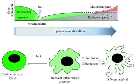 "Model for stem cell differentiation. During ES cell differentiation, Nanog and Oct4 expression is downregulated and nascent epigenetic modifications occur. At this point, nitric oxide can participate in transient downregulation of pluripotency network and also in chromatin remodelling events. Nevertheless, Nanog can be reexpressed in transient differentiated precursors. By this, fluctuating levels of Nanog and Oct4 constitute an ""opportunity"" for commitment through specific lineage differentiation. Nitric oxide participates in this perturbation, but further intrinsic or environmental stimuli are needed for correct commitment decision."