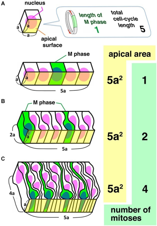 Comparison between a simple cuboidal epithelium (A) and two columnar epithelia differing in the degree of pseudostratification (B, C). Given that there is a 1:5 ratio between the length of S-phase and the total length of the cell cycle length, and that there is no synchronization between neighboring cells, the number of mitoses at the unit of apical area increases as PS is accelerated, indicating that PS is a means to make epithelia as productive as possible at the apical surface.