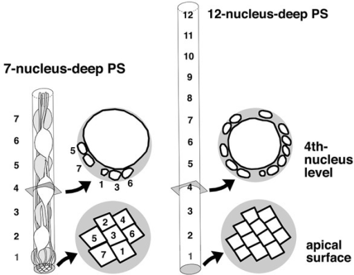 Comparison of VZ cells' spatial conditions between a moderate (7-nucleus-deep) and higher-degree (12-nucleus-deep) pseudostratification. In the 12-nucleus-deep VZ, the short diameter of the nucleus/soma was reduced, and the apical endfeet may be more densified and individually reduced in size.