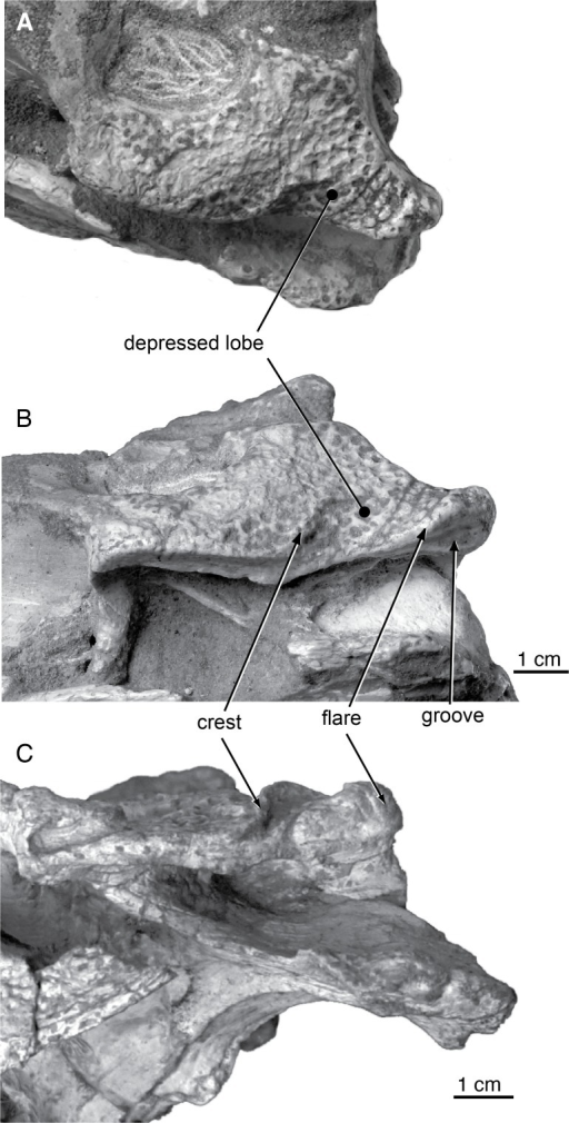 Skull morphology of Paralligatoridae.A, Shamosuchus djadochtaensis, AMNH FARB 6412, dorsal view; B, S. djadochtaensis, AMNH FARB 6412, left lateral view; C, S. ulanicus (= Paralligator gradilifrons), PIN 3140-502, left lateral view.