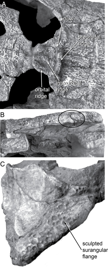 Skull morphology in the holotype of Shamosuchus (= Paralligator) gradilifrons.A, PIN 554-1, dorsal view of orbital region; B, PIN 554-1, left lateral view of squamosal; C, PIN 554-1, posterolateral view of right surangular.