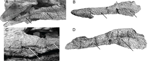 Jugal morphology in Paralligatoridae.A, Shamosuchus ulanicus (= Paralligator gradilifrons) (PIN 3140-502), right side; B, S. tersus (= Paralligator gradilifrons) (PIN 3141-501), right side; C, S. (= Paralligator) gradilifrons (PIN 554-1, holotype), left side; D, S. ancestralis (= Paralligator gradilifrons) (PIN 551-29/7), right side.