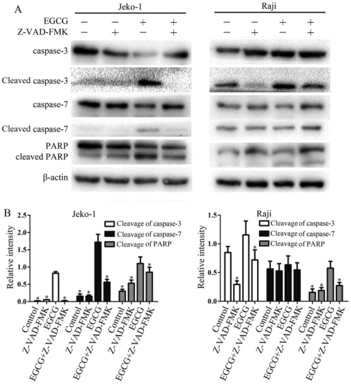 Z-VAD-FMK reverses the EGCG-induced activation of caspase-3, -7 and PARP. (A) Jeko-1 or Raji cells were pretreated with Z-VAD-FMK (10 μM) for 1 h and incubated with 60 μg/ml EGCG for 24 h. Equal amounts of total protein were examined by western blot analysis using the indicated antibodies. β-actin was used as a loading control. (B) Relative intensity of activated caspase-3, -7 and PARP. The values represent mean ± SD from three times independent experiments. *p<0.05, compared with the EGCG-treatment group.