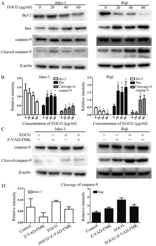 EGCG upregulates Bcl-2 and Bax expression, and caspase-9 activation. (A) Jeko-1 or Raji cells were treated with EGCG at different concentrations (0, 20, 40 and 60 μg/ml) for 24 h. Equal amounts of total protein were examined by western blot analysis, with appropriate antibodies. β-actin was used as a loading control. (B) Relative band intensities of Bcl-2, Bax and activated caspase-9. (C) The cells were pretreated with the general caspase inhibitor Z-VAD-FMK (10 μM) for 1 h and incubated with EGCG (60 μg/ml) for 24 h. Equal amounts of total protein were examined by western blot analysis to determine the inhibition of EGCG-induced caspase-9 activation. *p<0.05, compared with the control group (0 μg/ml); #p<0.05, compared with the previous group. (D) Inhibition of caspase-9 activation shown by relative band intensity detected by western blot analysis using appropriate antibodies. β-actin was used as a loading control. The values represent mean ± SD from three independent experiments. *p<0.05, compared with the EGCG-treatment group.