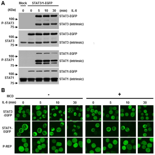 IL-6-induced S.TAT3 and STAT1 nuclear translocation is required for the integrity of lipid rafts.(A) CD45+ U266 cells were transfected with untagged (mock) or STAT1-EGFP, STAT3-EGFP expression plasmids, and either treated or untreated with IL-6 at different time points. Immunoblotting was performed as above. (B) Subcellular distribution of STATs-EGFP fusion proteins. Nuclear translocation of both STAT3-EGFP and STAT1-EGFP was evaluated by live cell imaging. Cells were pre-incubated with or without 10 mM MCD for 30 minutes and then stimulated with 10 ng/ml of IL-6 and images were generated at different time points. P-REP was used as a mock vector, which expresses EGFP. Data shown are representative of three experiments.