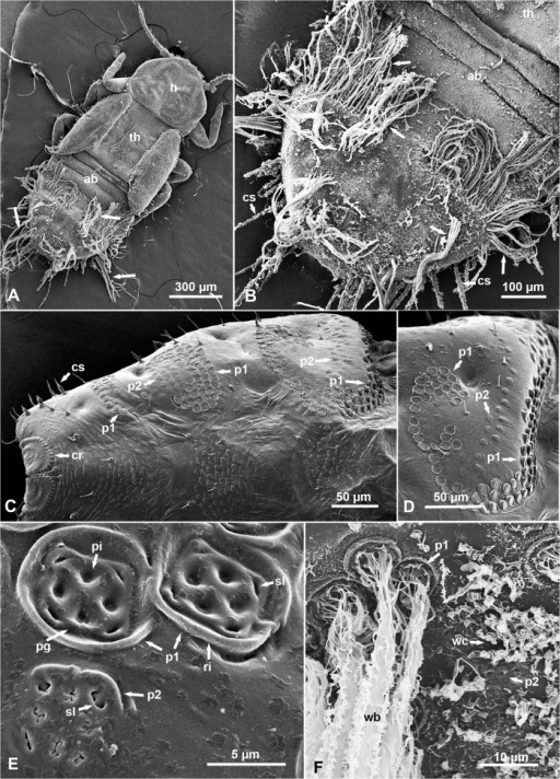 SEM of waxy secretions and wax pore plates on the integument of melaleuca psyllid nymphs (dorsal views).A & B. Older (4th-5th instar) nymph with wax bundles (arrows) extending from the abdomen (ab); note that the head (h), thorax (th) and first 3 abdominal segments do not have wax bundles. C&D. Part of the abdomen in 'dewaxed' 4th-5th instar nymphs, showing arrays of wax pore plates of types 1 (p1) and 2 (p2), as well as the circumanal ring (cr) at the posterior end of the abdomen. E. Higher magnification of wax pore plates, types 1 (p1) and 2 (p2) in dewaxed nymphs; note the open slits (sl) in both types, and the pits (pi), peripheral groove (pg) and raised rim (ri) especially in type-1. F. Wax bundles (wb) coming out of type-1 pore plates (p1), and wax curls (wc) apparently coming out of type-2 pore plates (p2), on the abdomen of a waxed nymph. Additional abbreviations: cs, circumabdominal setae.