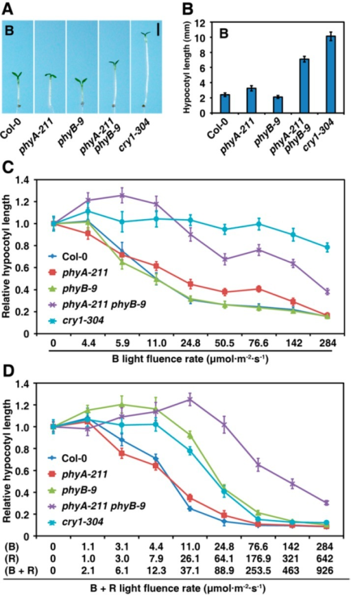 PhyA and phyB synergistically repress hypocotyl elongation under blue (B) light condition; (A) Morphology of the WT Col-0, phyA-211, phyB-9 and phyA-211 phyB-9 grown under B light (142 μmol·m−2·s−1) for four days. Bar = 2 mm; (B) Quantification of hypocotyl lengths of seedlings shown in A. The means of three replicates (at least 30 seedlings each replicate) are shown ± SE; (C) PhyB shows a synergistic effect with phyA to promote seedling de-etiolation responses under different intensities of B light. The means of three replicates (at least 30 seedlings each replicate) are shown ± SE; and (D) PhyA and phyB synergistically promote seedling de-etiolation under different intensities of R plus B light. The means of three replicates (at least 30 seedlings each replicate) are shown ± SE.
