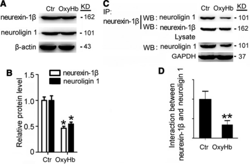 Effects of oxyhemoglobin (OxyHb) on the expressions of neurexin-1β and neuroligin-1, and the interaction between them in cultured hippocampal neurons under OxyHb treatment. A, Western blot (WB) analysis of the protein levels of neurexin-1β and neuroligin-1 in cultured primary hippocampal neurons exposed to OxyHb. B, Quantification of relative protein levels of neurexin-1β and neuroligin-1. Data are presented as mean±SEM. *P<0.05 compared with control (Ctr) group, n=3. C, Immunoprecipitation analysis of the effect of OxyHb on the interaction between neurexin-1β and neuroligin-1 in cultured primary hippocampal neurons exposed to OxyHb. D, Quantification of relative protein levels of neurexin-1β and neuroligin-1. Values are mean±SEM. **P<0.01 compared with control (Ctr) group, n=6.