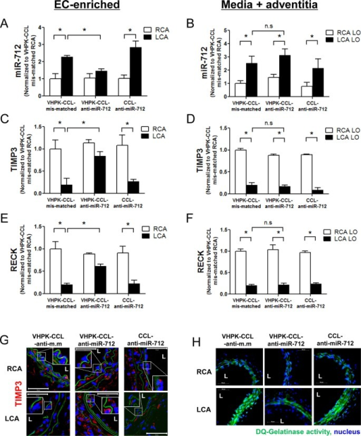Selective and efficient silencing effect of VHPK-CCL-anti-miR-712 in inflamed endothelium in d-flow regions of mice. At 2 days following partial carotid ligation, ApoE–/– mice were tail-vein injected with VHPK-CCL-anti-miR-712, VHPK-CCL-mismatched control (VHPK-CCL-anti-m.m) or CCL-anti-miR-712 (1 mg/kg). Mice were sacrificed 2 days later and endothelial-enriched RNA was extracted from the RCA and LCA. Expression of miR-712 (A) and its target genes TIMP3 and RECK (C, E) was determined by qPCR. RNA from the left over (LO) samples (containing media and adventitia) were also tested for expression of miR-712 (B) and its target genes TIMP3 and RECK (D, F) for comparison. Expression of miRNA and mRNAs was normalized to RNU6b and 18S, respectively as internal controls. n = 5, data shown as mean ± s.e.m; *p < 0.05 as determined by Student's t-test. In some studies, frozen sections of the RCA and LCA (n = 5 each) were prepared and immunostained with TIMP3 (red) (G); and in situ gelatinase activity assay using DQ-gelatin (green) (H) was performed as shown by the representative images (n = 5). Inset shows zoomed sections of endothelial regions showing expression of TIMP3 under different treatment conditions. L = lumen. Internal elastic lamina (green autofluorescence), nuclei (blue).