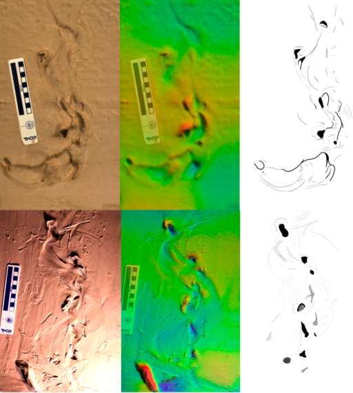 Short trails produced by P. annactens traversing soft mud.Marks left by the body are prominent between distinct bi-lobed impressions left by the open mouth. Direction of travel is to the top of the image, Scale bar = 10 cm. Colour map ranges from blue (low) to red (high) over 23 mm [top] and 12 mm [bottom].