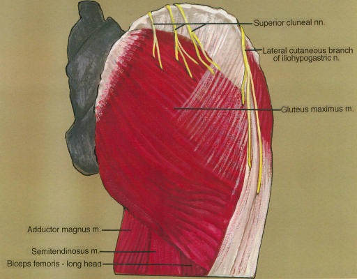 adductor magnus muscle; semitendinosus muscle; biceps femoris muscle; superior cluneal nerve; iliohypogastric nerve; gluteus maximus muscle