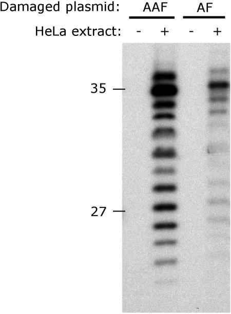 NER dual incision activity on dG-AAF and dG-AF-containing plasmids. Plasmids containing site-specific dG-AAF or dG-AF residues were incubated with cell extracts prepared from HeLa cells. The 24mer to 32mer excision products containing dG-AAF or dG-AF were detected by annealing to a complementary oligonucleotide with a 5′-GpGpGpG overhang, which served as a template for end-labeling with [α-32P]dCTP with sequenase. The reaction products were resolved on a 14% denaturing polyacrylamide gel. An MspI digest of pBR322 was used as a size marker and the position of the 27 and 35 nt bands are indicated.