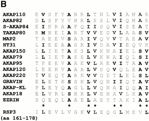 Mapping of the RII-binding domain in RSP3. (A) Full-length (1–516) and various truncations of RSP3 were expressed as GST fusion proteins in bacteria and tested for RII binding by RII overlays. Overlays were followed by probing with anti-GST to verify protein expression. GST only was expressed as a negative control. (B) Alignment of RSP3 residues 161–178 with the RII-binding domains of other AKAPs. Bold type indicates identical or conservatively substituted residues. Asterisks identify proposed conserved positions of the RII-binding motif (adapted from Vijayaraghavan et al. 1999). aa, amino acid. (C) Helical wheel projection of RSP3 161–178 demonstrating an amphipathic helix. (D) Site-directed mutagenesis of leucine 170 to proline and of valine 169 and leucine 170 to alanines was performed as indicated. RSP3 mutants were expressed as GST fusion proteins and tested for RII binding by RII overlays. Overlays were followed by probing with anti-GST to verify protein expression.