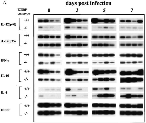 Kinetics of cytokine mRNA expression in splenic tissue from T. gondii-infected ICSBP+/+ and ICSBP−/− mice. (A) Splenic tissue was harvested from 4 individual mice at days 0, 3, 5, and 7 after parasite exposure from the same animals studied in Fig. 2. Extracted RNAs were subjected to  quantitative RT-PCR analysis using primers specific for IL-12 p40, IL-12 p35, IFN-γ, IL-10, IL-4, and HPRT genes. (B) RNA from four individual mice  were pooled and levels of TNFα expression were determined by RT-PCR as performed in (A). Similar results were attained in a second experiment.
