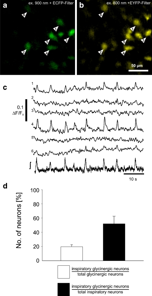 Rhythmic calcium transients in glycinergic neurons. a Identification of GlyT2-EGFP neurons (arrowheads) by two-photon excitation at 900 nm and CCD camera detection with a CFP optimized filter (465–495 nm). b OGB-1-AM fluorescence is shown and measured by using 800 nm excitation wavelength and a 501–551-nm emission band pass filter. All GlyT2-EGFP cells (a) appear to be labeled by OGB-1-AM (b). c Intracellular free cytosolic calcium transients recorded from glycinergic neurons. The numbering of the traces corresponds with the numbering of the neurons in the images a and b. The lower trace (∫) shows the integrated population field potential from the preBötC. d Graphic summary of the experiments. The left bar (white) shows the percentage of inspiratory EGFP-expressing glycinergic neurons (over the total number of glycinergic neurons). The right bar (black) shows the percentage of inspiratory glycinergic neurons (over the total number of inspiratory neurons). Data are given as mean ± SEM based on 20 imaging planes from five slices