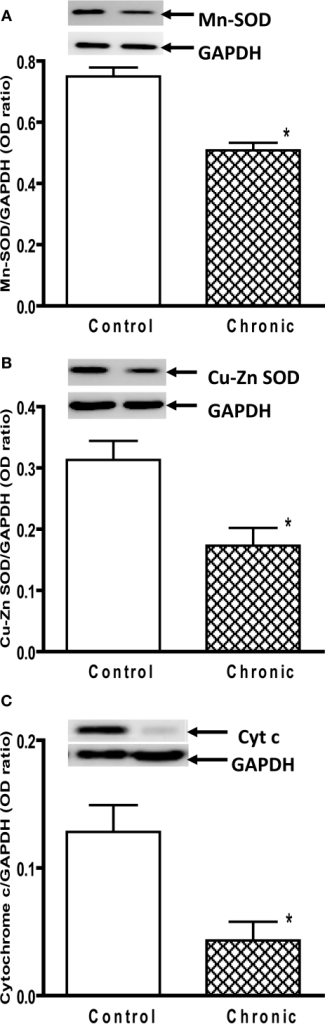 Protein expression of (A) Mn SOD, (B) Cu–Zn SOD, and (C) cytochrome c in the striatum of aged chronic probenecid control and aged chronic MPD mice. A representative image of western blot protein bands was correspondingly shown above each set of bar graph. The protein contents of Mn SOD, Cu–Zn SOD, and cytochrome c were expressed as a ratio to that of GAPDH and each data point represents mean ± SEM, N = 6 per group of animals. Statistical analyses revealed that the levels of Mn SOD, Cu–Zn SOD, and cytochrome c in the striatum of aged chronic MPD 6 weeks after chronic treatment were significantly lower than that of chronic control animals (*P < 0.05).