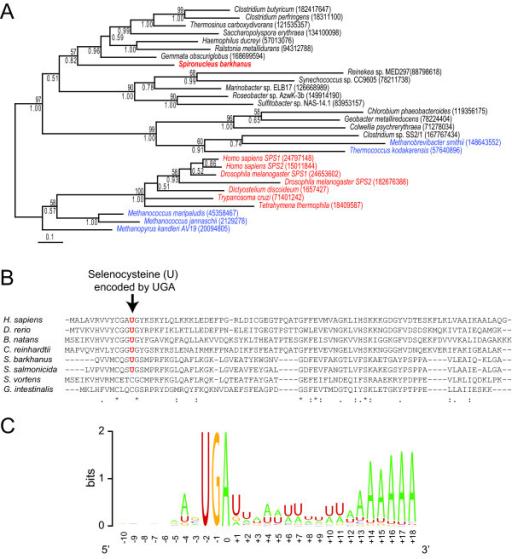 UGA serves as a codon for selenocysteine and a polyadenylation signal in addition to termination in S. barkhanus and S. salmonicida. (A) Phylogenetic tree of putative S. barkhanus selenophosphate synthetase with homologs representing the diversity of the protein family. Eukaryotes, Archaea and Bacteria are shown in red, blue and black, respectively. Maximum likelihood bootstrap values and bayesian posterior probabilities are shown above and below branches, respectively. GenBank identification numbers (gi) for each sequence are shown in parentheses. (B) Alignment of a putative S. barkhanus selenoprotein W1 (contig253) with homologs from diplomonads (S. salmonicida - gi:120476942, G. lamblia - gi:253741748, and S. vortens [15]), and a selection of other eukaryotes (Homo sapiens - gi:4506887, Danio rerio - gi:29648542, Chlamydomonas reinhardtii - gi:159471514, Bigelowiella natans - gi:47028259). (C) Sequence logo [54] around the termination codon of 134 S. barkhanus cDNA sequences.