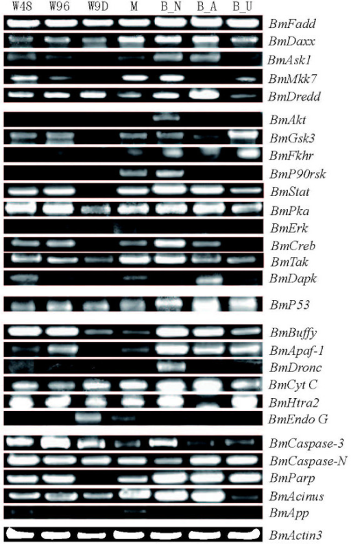 RT-PCR analysis of the expression of the putative silkworm apoptosis-related genes during different growth stages and in BmE cells. Total RNA was isolated as described in the Methods section and analyzed by RT-PCR. W48: about 48 h after wandering; W96: about 96 h after wandering; W9D: about 9th day after wandering; M: silk moth; B_N: normal BmE cells; B_A: BmE cells exposed to actinomycin D; B_U: BmE cells exposed to UV irradiation.