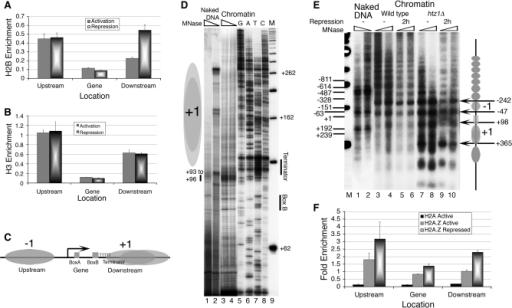 Effect of Repression and H2A.Z deposition on the SUP4 gene locus in vivo. Chromatin organization at the SUP4 locus is probed by ChIP/Real Time PCR and footprinting methods. (A) Relative occupancy of FLAG-tagged H2B. (B) Relative occupancy of Myc-tagged H3. (C) Nucleosomes flank the histone-free SUP4 gene: Cartoon showing positions of the nucleosomes −1 and +1, relative to the cis elements of the gene, as marked in the panel 1C. (D) High-resolution MNase footprinting in vivo. MNase digested chromatin and naked DNA samples were used for extension with a primer which hybridizes to the bottom strand, 13 bp downstream of the TSS. Lane M shows a 50 bp ladder used as molecular size marker while GATC represent the sequencing reaction over genomic DNA. Two levels of MNase digestions are shown for SUP4 as naked DNA (lanes 1 and 2) and chromatin (lanes 3 and 4). Positions of the box B and terminator are marked while grey ovals represent nucleosomes. Position of MNase hypersensitivity immediate upstream of the terminator is marked with a short vertical bar in the left-hand side. (E) Low-resolution chromatin structure analysis by the IEL method. Grey ovals denote the nucleosomal size protections and arrows mark the MNase cut sites in the chromatin. Gene region is marked with a rectangle. All numbers represent bp with respect to TSS at +1. Numbers on the left-hand side mark the MNase cuts seen on the naked DNA in lanes 1 and 2. Numbers on the right-hand side mark the MNase cuts seen on chromatin and −1, +1 mark the gene flanking nucleosomes. MNase cleavage pattern of wild type (lanes 3–6) and Htz1Δ cells (lanes 7–10) without (lanes 3, 4 and 7, 8) or with nutritional stress (lanes 5, 6 and 9, 10) for 2 h is shown. (F) H2A.Z deposition in the nucleosomes around the SUP4 gene in vivo. Relative occupancies of FLAG-tagged H2A and H2A.Z on SUP4 against TELVIR region are shown. H2A.Z levels increase with repression.