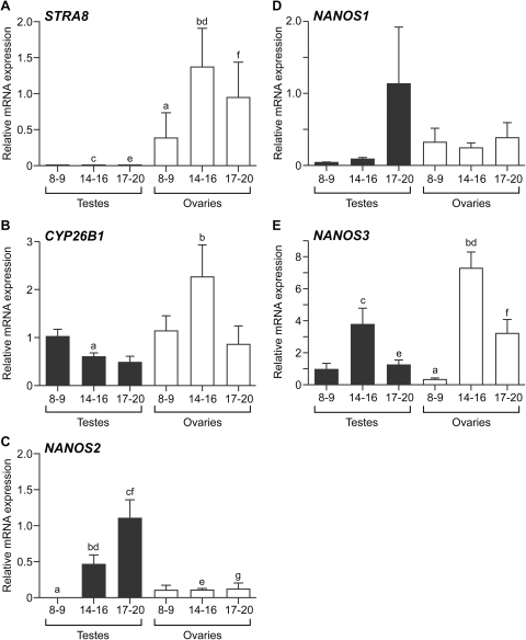 Conserved and divergent patterns of expression of STRA8, CYP26B1 and NANOS1-3 in the human fetal gonad.qRT-PCR analysis of human fetal gonads reveals female-biased and developmentally-regulated expression of STRA8 (A). STRA8 expression increased significantly between 8–9 and 14–16 weeks in the human fetal ovary (a vs b, p<0.05) consistent with the initiation of meiosis in the fetal ovary around 11 weeks gestation. Levels of transcripts encoding STRA8 were low and not significantly different between human fetal testes and ovaries at 8–9 weeks gestation, but were significantly higher in fetal ovaries than fetal testes at 14–16 weeks (c vs d, p<0.0001) and 17–20 weeks (e vs f, p = 0.008). CYP26B1 (B) expression was not significantly different between samples of the same sex at different gestational ages, but was significantly higher at in the fetal ovary than the fetal testis at 14–16 weeks (a vs b, p = 0.02); suggesting the male-specific expression of CYP26B1 reported in mice at a comparable developmental stage is not conserved to humans. NANOS2 (C) expression was predominantly male-specific and developmentally-regulated, with expression increasing in the human fetal testis with increasing gestational age (a,b,c, p<0.001). NANOS2 expression was also significantly higher in fetal testes than ovaries at 14–16 weeks (d vs e, p = 0.01) and 17–20 weeks (f vs g, p<0.01), a result consistent with a role for this protein in repressing meiosis in the fetal male germline. 8–9, 14–16 and 17–20 denote gestation age (in weeks) of specimens. No differences were detected in the expression of NANOS1 (D) between testis and ovaries at any gestational age, nor between gonads of the same sex at any developmental stage. NANOS3 expression (E) was significantly higher in the human fetal ovary at 14–16 weeks gestation than at 8–9 weeks gestation (a vs b, p<0.05), in contrast to the downregulation of the homologous gene in the fetal mouse ovary at the comparable developmental stage. Expression of NANOS3 was also greater in the fetal ovary than in the fetal testis at 14–16 weeks (c vs d, p<0.05) and 17–20 weeks (e vs f, p<0.02). 8–9, 14–16 and 17–20 denote the gestational age (in weeks) of specimens, values denote mean ± s.e.m, 8–9, 14–16 and 17–20 denote the gestational age (in weeks) of specimens.