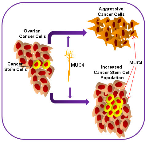Schematic representation showed that MUC4 overexpressed ovarian cancer cells induce the aggressiveness of the cancer cells and enrich the cancer stem cell population. It also showed that MUC4 is expressed in the ovarian cancer stem cell population.