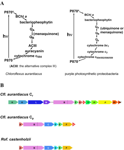 Schematic representation of the proposed photosynthetic | Open-i