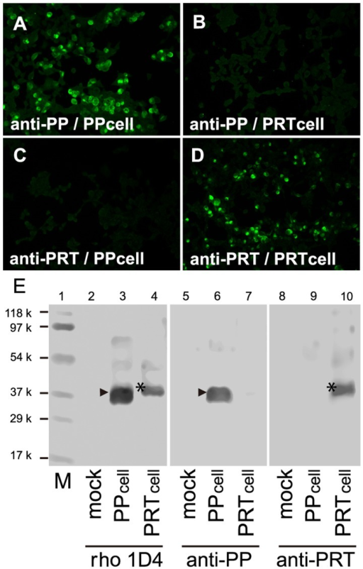 The specificity of the antibodies to parapinopsin and parietopsin.The anti-iguana parapinopsin antibody (anti-PP) labels the cells expressing iguana parapinopsin (A, PP cells) but not those expressing iguana parietopsin (B, PRT cells). The anti-iguana parietopsin antibody (anti-PRT) labels PRT cells (C) but not PP cells (D). (E) Immunoblot profiles showing that anti-PP and anti-PRT antibodies specifically recognize parapinopsin and parietopsin expressed in cultured cells. Monoclonal antibody rho 1D4 stains iguana parapinopsin (arrowhead) and parietopsin (asterisk) tagged with rho 1D4 epitope, in SDS-extracts form PP and PRT cells (lanes 3 and 4) but not from mock transfected cells (lane 2). Anti-PP specifically stained ∼38 k peptide (lane 6, arrowhead), which is the same as the band stained by rho 1D4 (lane 3), in PP cells but not in mock cells (lane 5) or PRT cells (lane 7). Anti-PRT antibodies recognize specifically ∼39 k peptide (lane 10, asterisk), which is identical to the stained band by rho 1D4 (lane 4) in PRT cells, but not in mock cells (lane 8) or PP cells (lane 9). M indicates Molecular weight standard markers (lane 1) (Bio-Rad Laboratories).