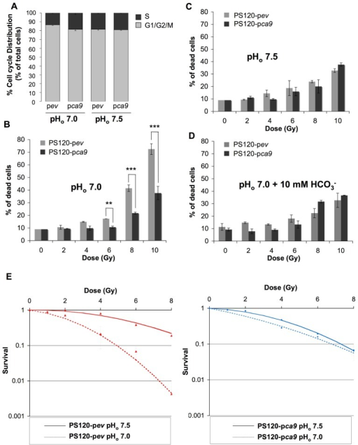 CAIX protects cells against irradiation-induced cell death in an acidic environment.(A) Cell cycle distribution of NHE-1-disrupted fibroblasts PS120 cells expressing (pca9) or not (pev) CAIX, in normoxia in a /CO2-free environment at pHo 7.0 or 7.5 for 24 h. (B–D) PS120-pev and PS120-pca9 cells (1 × 104) were plated in 60 mm dishes. Once attached cells were incubated in 30 mM HEPES-buffered -free medium adjusted to pHo 7.0 in the absence (B) or in the presence of 10 mM (D) or to pHo 7.5 (C) for 24 h in a CO2-free atmosphere. Dishes were then irradiated (0, 2, 4, 6, 8, and 10 Gy) and returned to a CO2-containing incubator with fresh regular -containing (44 mM) medium for 4 days. Cell death was determined by the trypan blue exclusion assay. Data represent the average of three independent experiments. (E) The clonogenic capacity of PS120-pev and PS120-pca9 cells exposed to a medium adjusted to pHo 7.0 or 7.5 was measured 10 days after irradiation (0,1, 2, 4, 6, and 8 Gy). Dishes were stained with Giemsa (Fluka). The colonies were counted with ImageJ software according to the following parameters: particles size = 0.15–5 mm2 and circularity = 0.1–1.