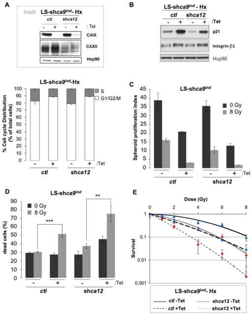 Silencing of the hypoxia-induced pHi-regulating enzymes ca9 and ca12 induced in vitro cell death of LS174Tr cells when combined with ionizing radiation.(A)Inset: Expression of CAIX and CAXII in colon carcinoma Tetracycline (Tet)-inducible LS-shca9/ctl -Tet cells either silenced for ca9 (LS-shca9/ctl +Tet) or for ca12 (LS-shca9/ca12- -Tet) or both ca9 and ca12 (LS-shca9/ca12- +Tet) in hypoxia 1% O2 (Hx) for 48 h. Hsp90 was used as a loading control. The cell cycle phase distribution was determined by FACScan analysis of LS-shca9/ctl -/+Tet and LS-shca9/ca12- -/+Tet cells exposed hypoxia of 1% O2 (Hx) for 24 h in a -containing medium. (B) Immunoblotting of p21, β1 integrin, and Hsp90 (loading control) in LS-shca9/ctl and LS-shca9/ca12- cells pre-incubated for 4 days in the presence (+Tet) or absence (-Tet) of Tet to silence ca9, before exposure to hypoxia of 1% O2 (Hx) for 48 h (H). (C,D). Tet-inducible LS174Tr cells silenced for ca9 or ca12 or both ca9 and ca12 were cultured as spheroids in a CO2 atmosphere and HEPES-buffered -free medium (pHo 7.7 in the absence (-Tet) or presence (+Tet) of Tet for 8 days before they were irradiated (8 Gy) or not (0 Gy). After irradiation, spheroids were transferred to polyhema-coated 96-well plates containing fresh medium for 5 days. Spheroids were then subjected to Accutase dissociation and individualized live cells (C) and dead cells (D) were counted using trypan blue. The spheroid proliferation index was calculated as the ratio of the number of living cells counted at day 13 to the number of cells at day 0. Data represent the average of three independent experiments. (E) The clonogenic capacity of LS174Tr-shca9/ctl -/+Tet and LS174TR-shca9/ca12- -/+Tet cells exposed to hypoxia (1% O2) for 48 h in a regular medium, was measured 10 days after irradiation (0,1, 2, 4, 6, and 8 Gy). Dishes were stained with Giemsa (Fluka). The colonies were counted with Image J software.